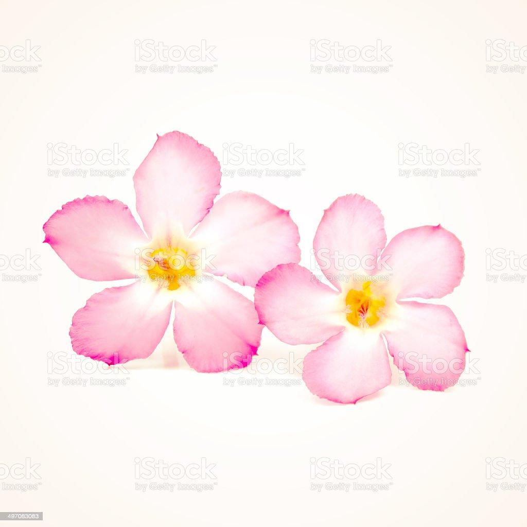 Frangipani flower old vintage retro style royalty-free stock photo