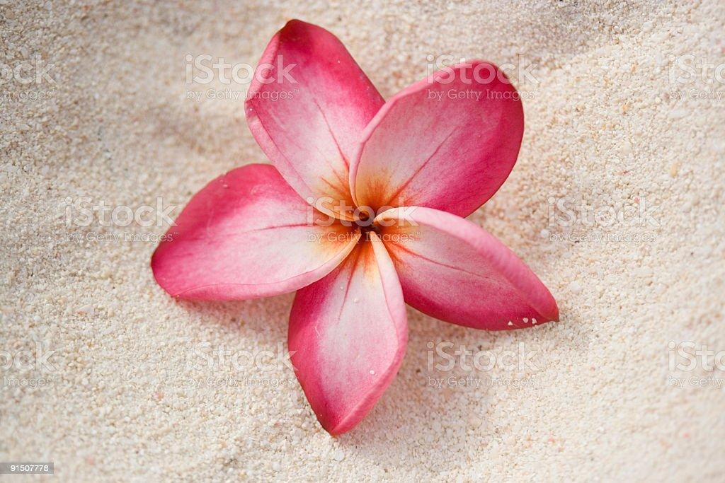 Frangipani (Plumeria) Flower On Sand royalty-free stock photo