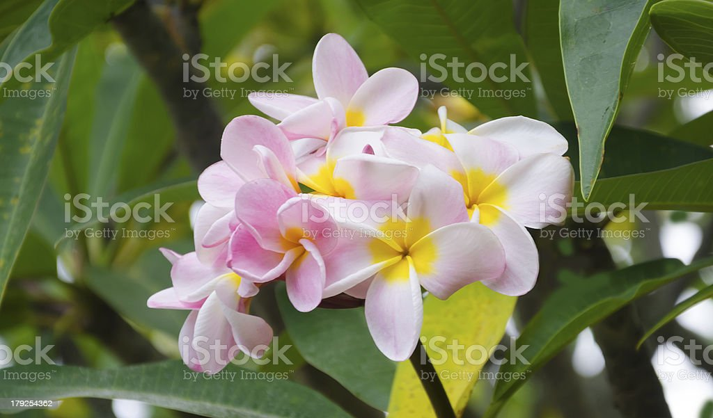 Frangipani (plumeria) flower royalty-free stock photo