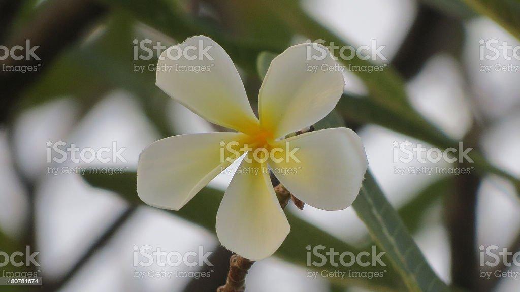 Frangipani Flower royalty-free stock photo