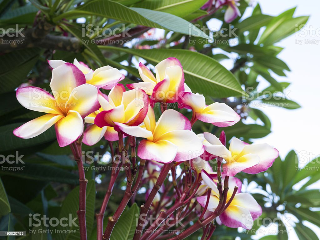 Frangipani flower royalty-free stock photo