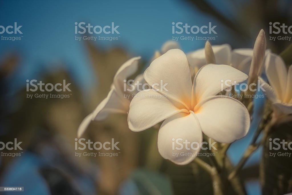 Frangipani flower retro field stock photo