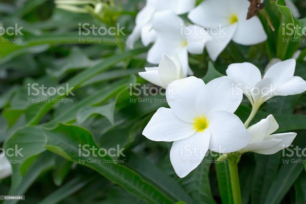 Frangipani flower, The scientific name Plumeria pudica stock photo