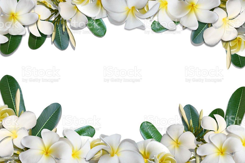 Frangipani flowers and leaf frame isolate on white background stock photo