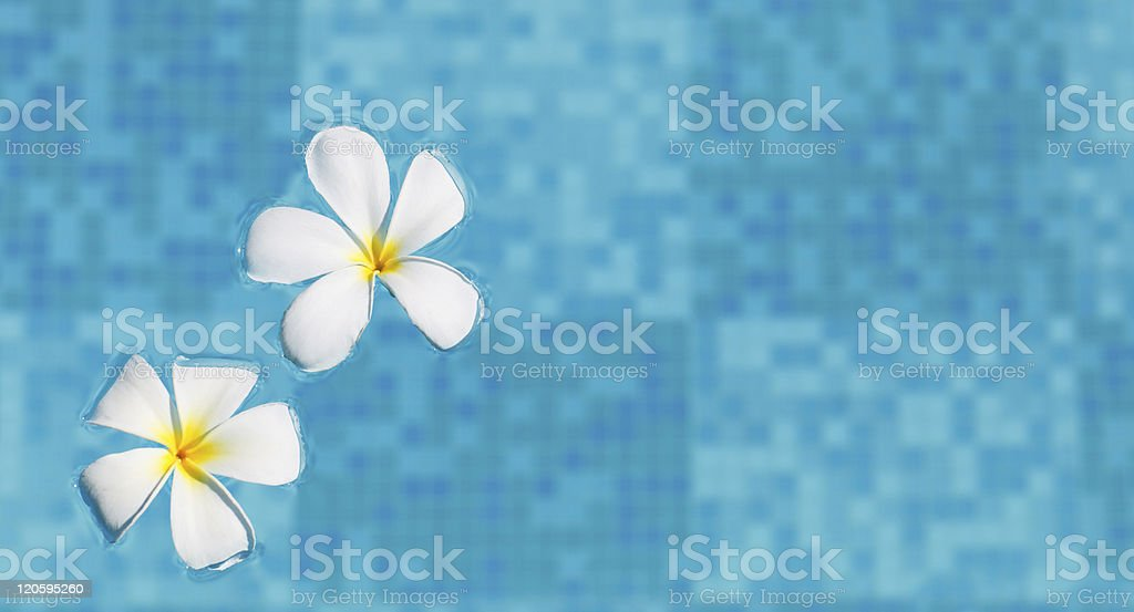 Frangipani flowers in water royalty-free stock photo