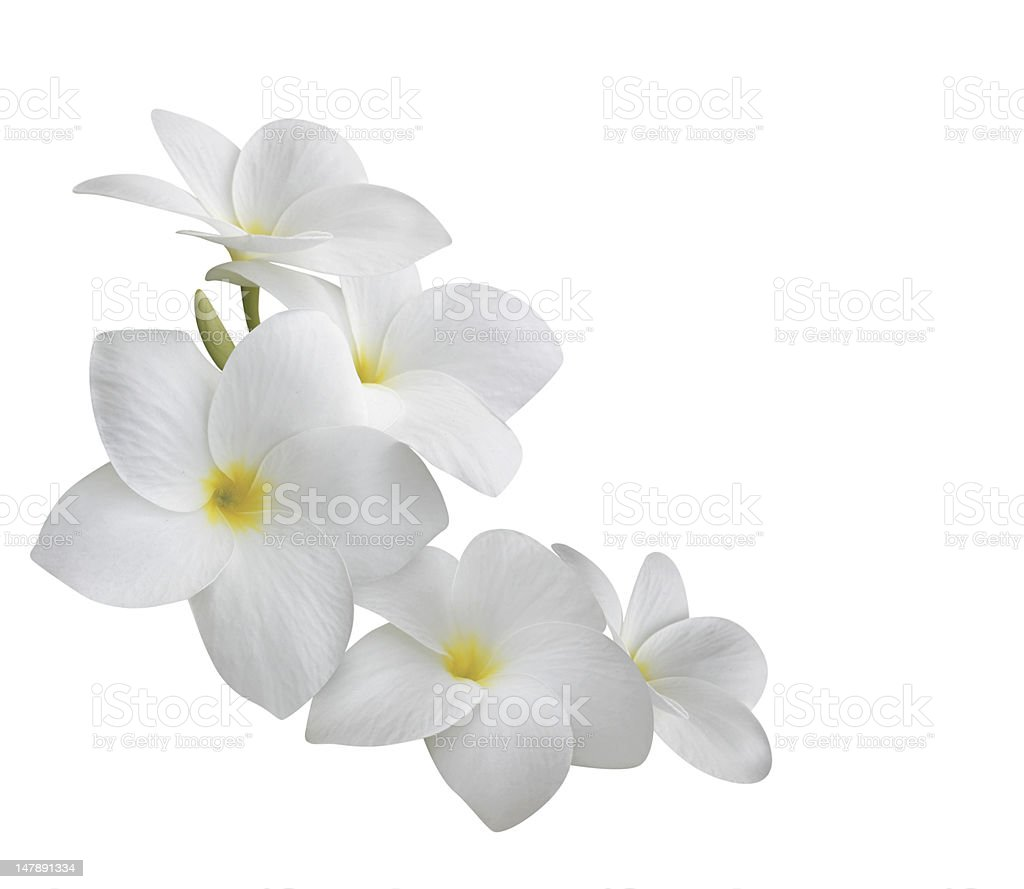 Frangipani (plumeria) flowers isolated on white stock photo
