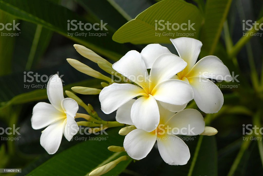 Frangipani flowers. stock photo