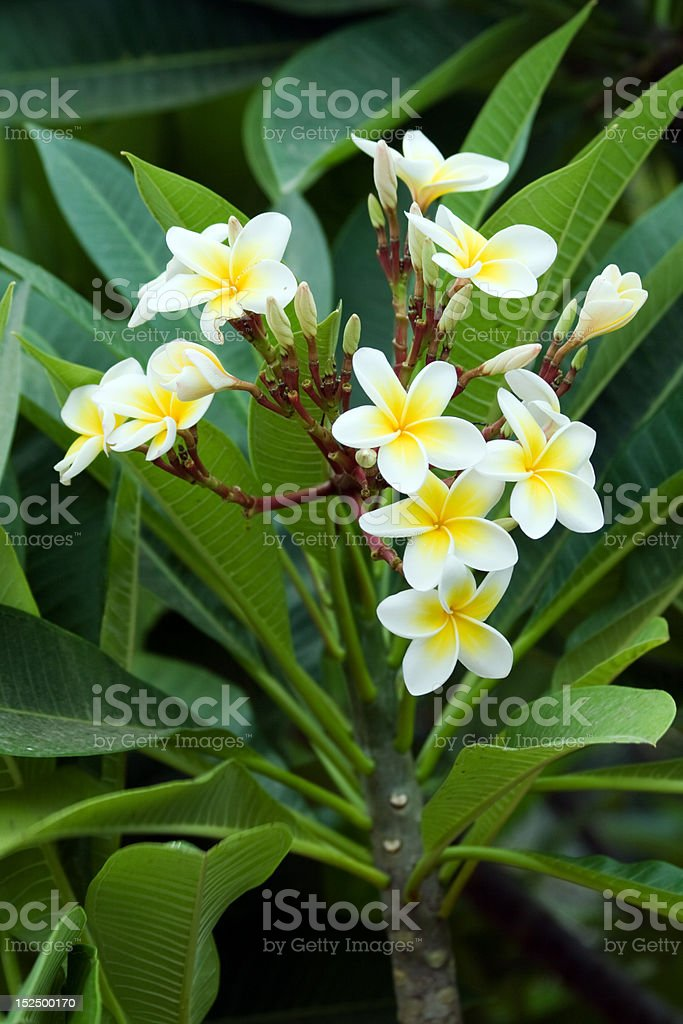 Frangipani (plumeria) flowers royalty-free stock photo