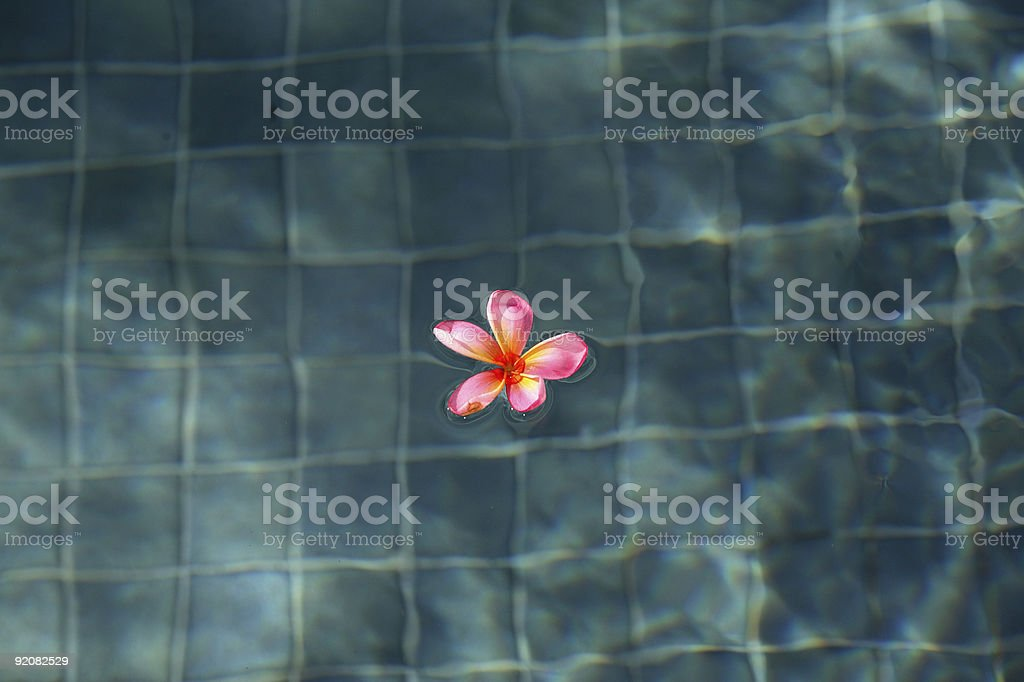 Frangipani in a Swimming Pool royalty-free stock photo