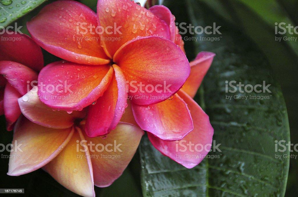 frangipani in the rain stock photo