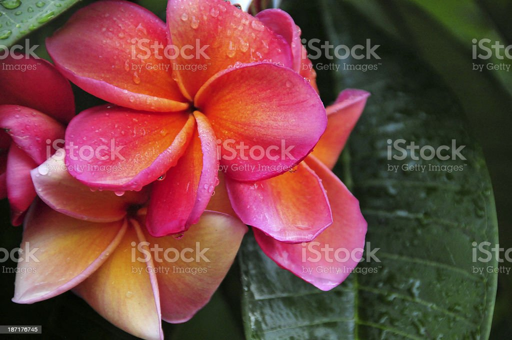 frangipani in the rain stock photo