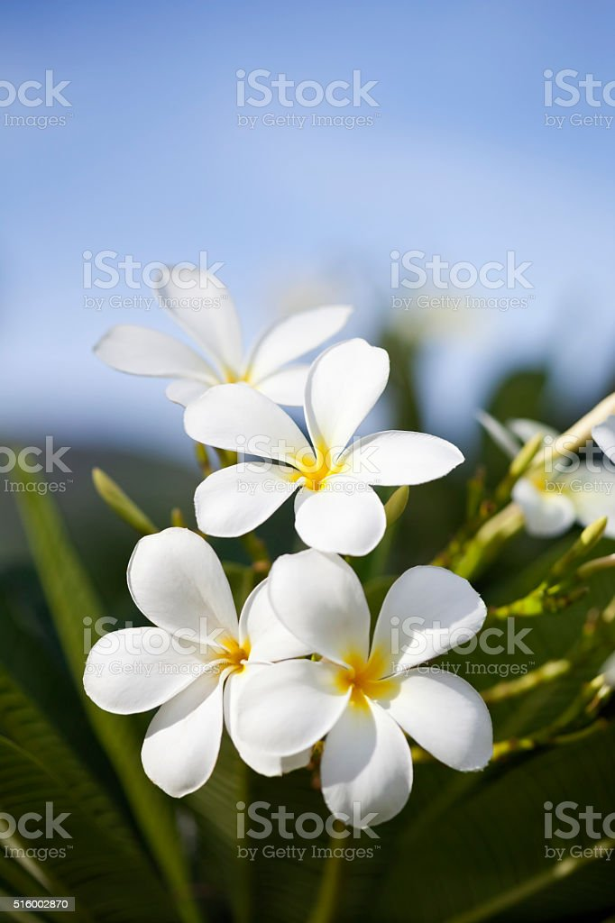 Frangipani in the Tropics stock photo