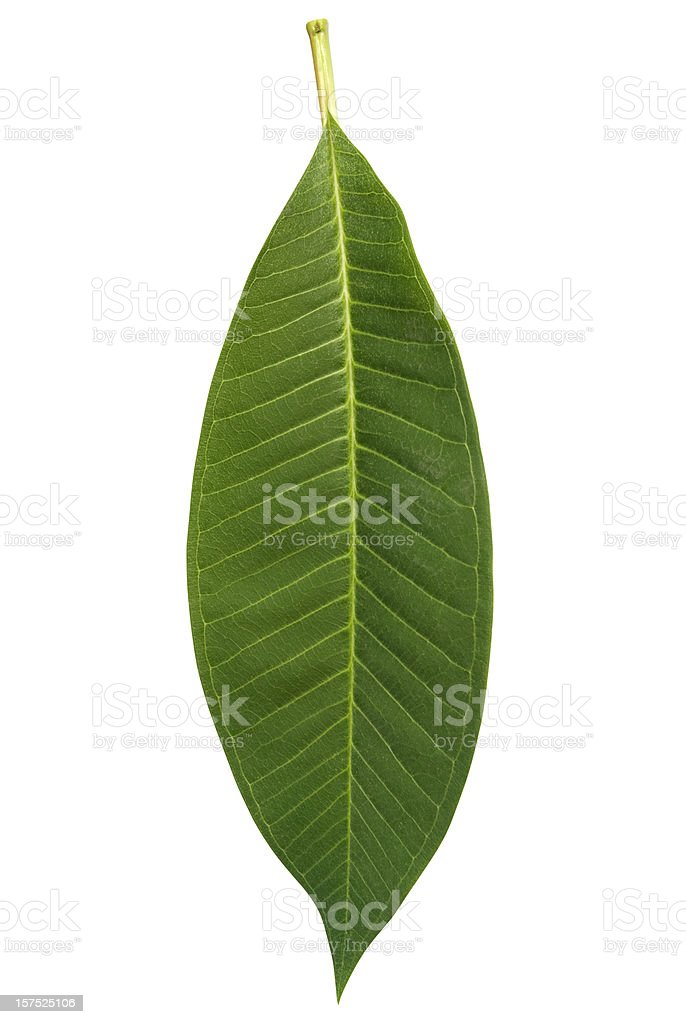 Frangipani leaf isolated on white with clipping path stock photo