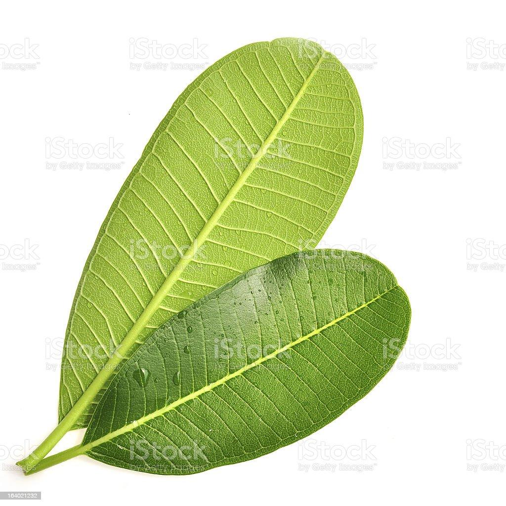 frangipani leaf royalty-free stock photo
