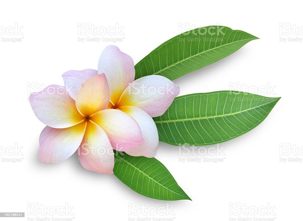 A frangipani on a white background stock photo