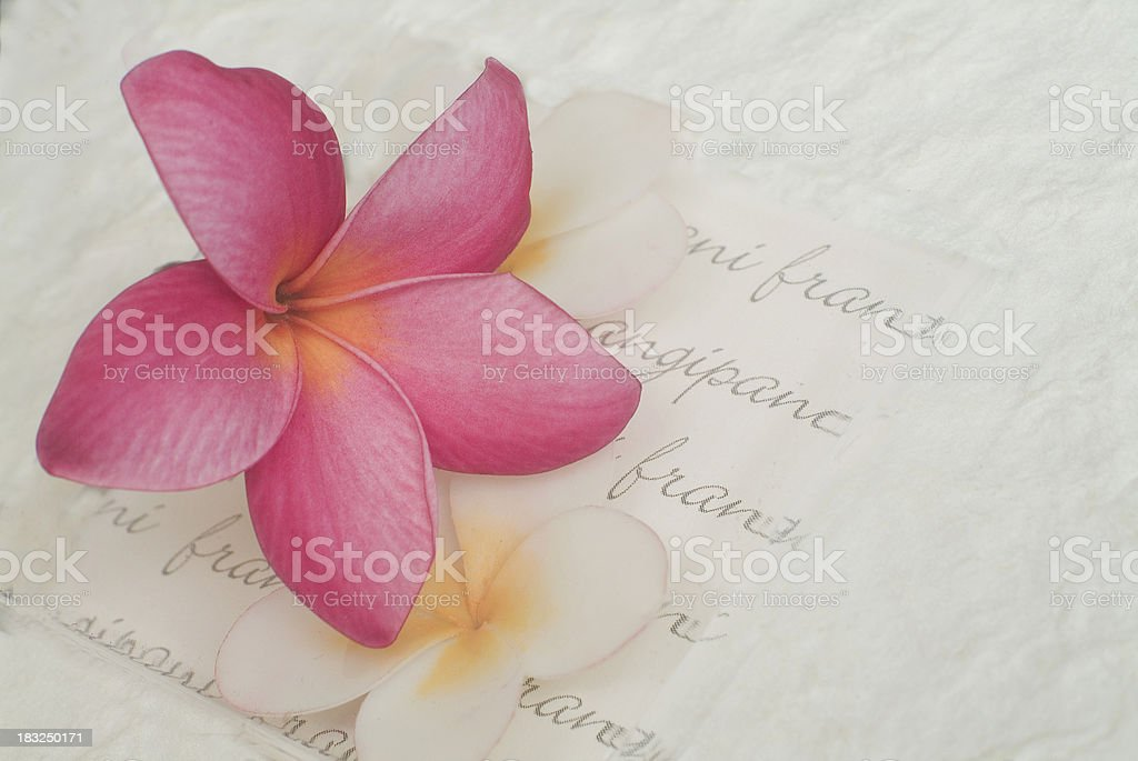 Frangipani on Frangiipani royalty-free stock photo