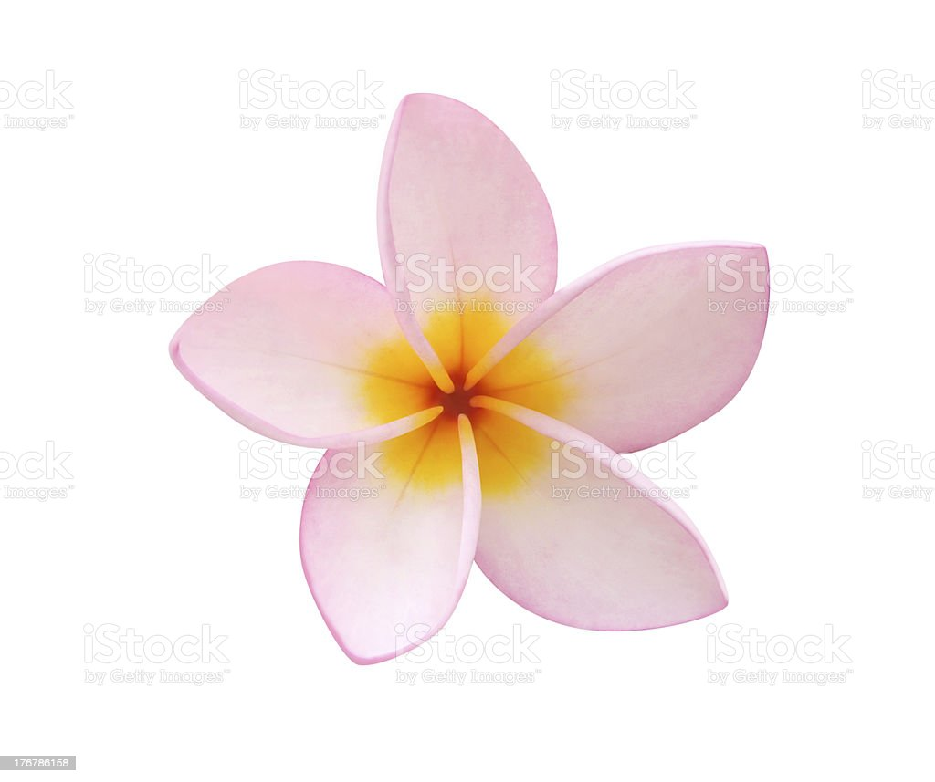 Frangipani on white - clipping path included stock photo