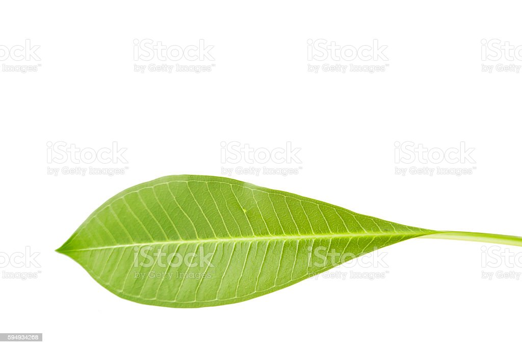 Frangipani or Plumeria leaf isolate on white. stock photo