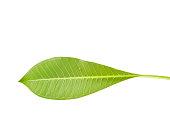 Frangipani or Plumeria leaf isolate on white.