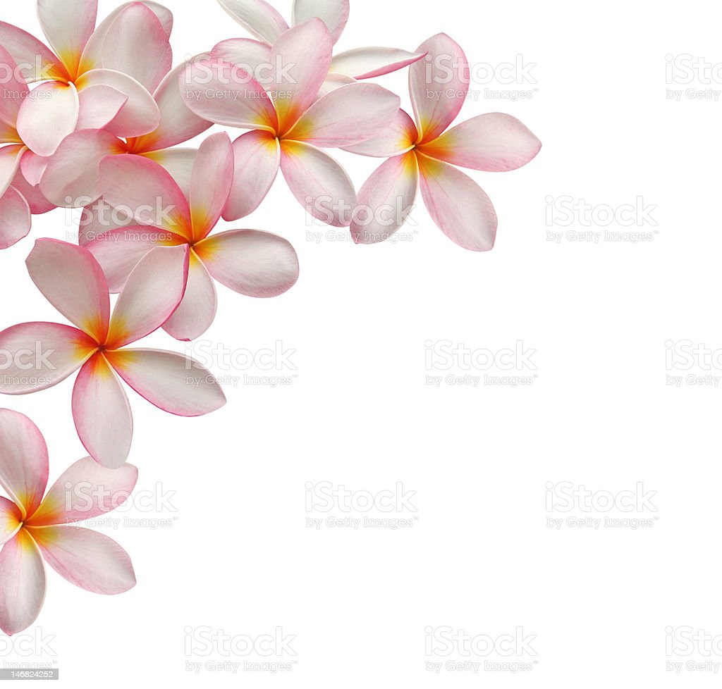 Frangipani stock photo