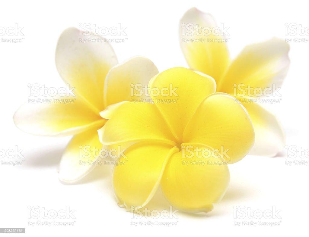 frangipani stock photo