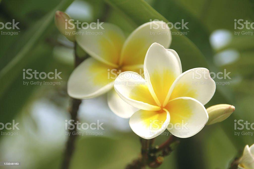 Frangipani - plumeria, blossom of white & yellow royalty-free stock photo