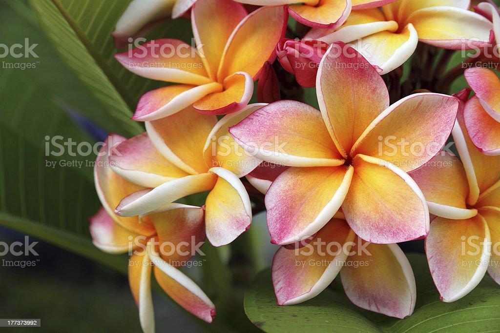 Frangipani, Plumeria flower royalty-free stock photo