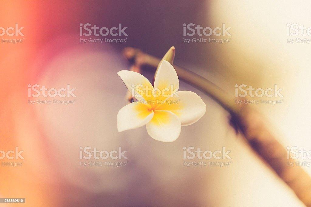 frangipani, plumeria flower stock photo