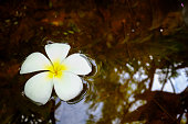Frangipani plumeria flowers in the water, copy space concept. fo