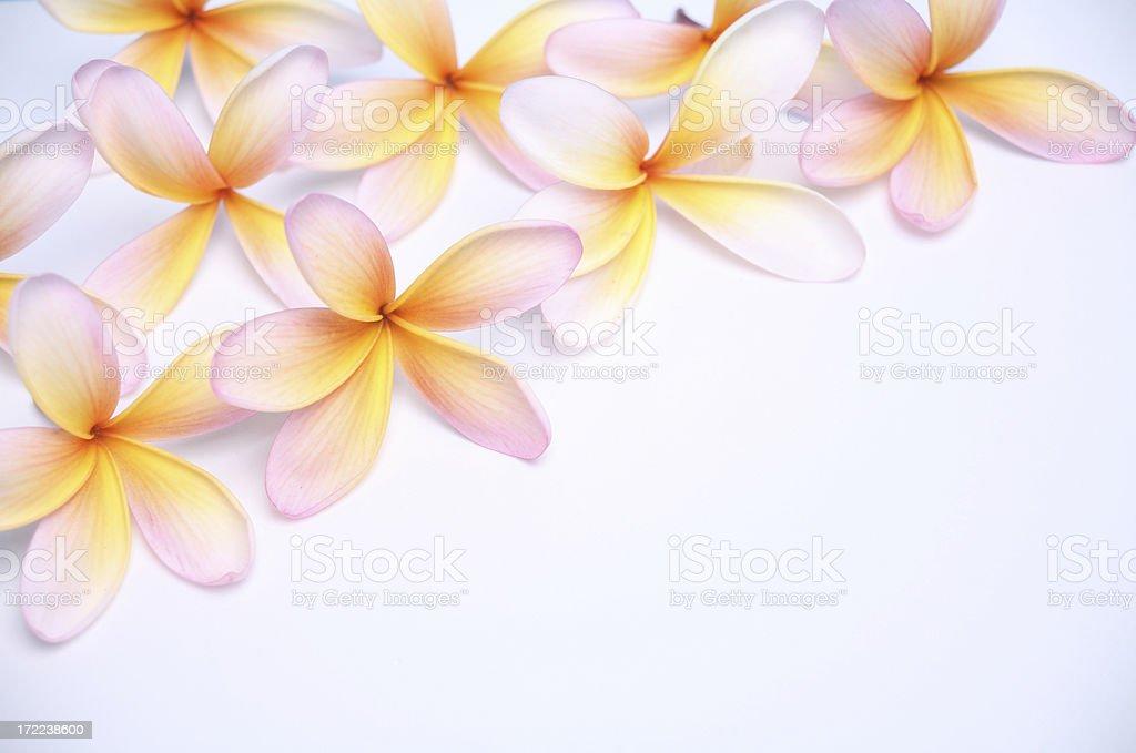 frangipani plumeria on white diagonal stock photo