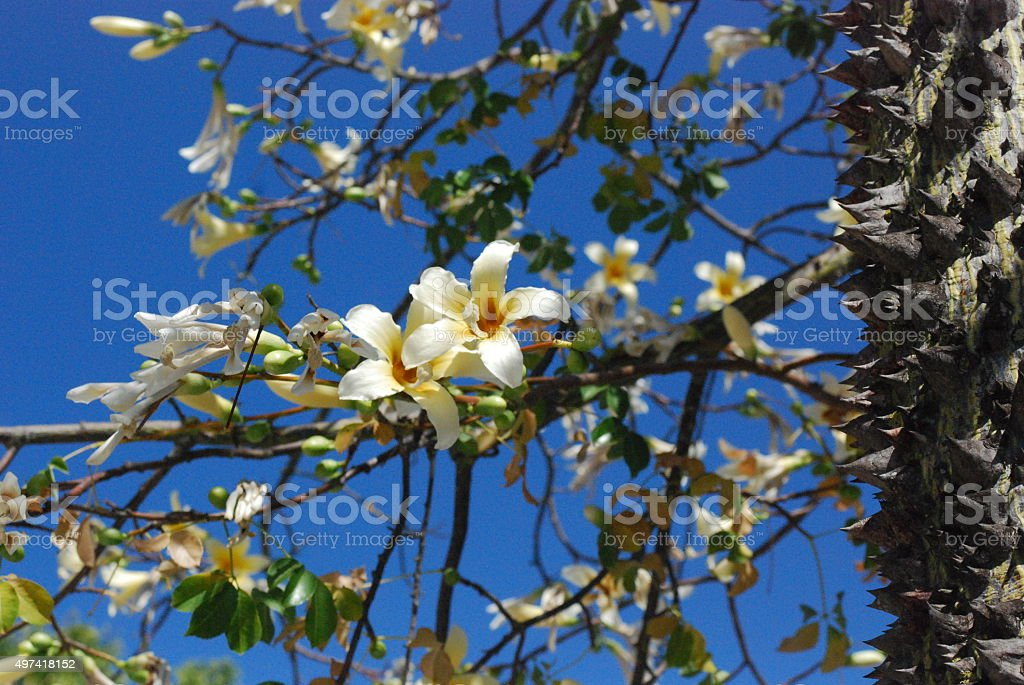 Frangipani, Plumeria Rubra, flowers stock photo