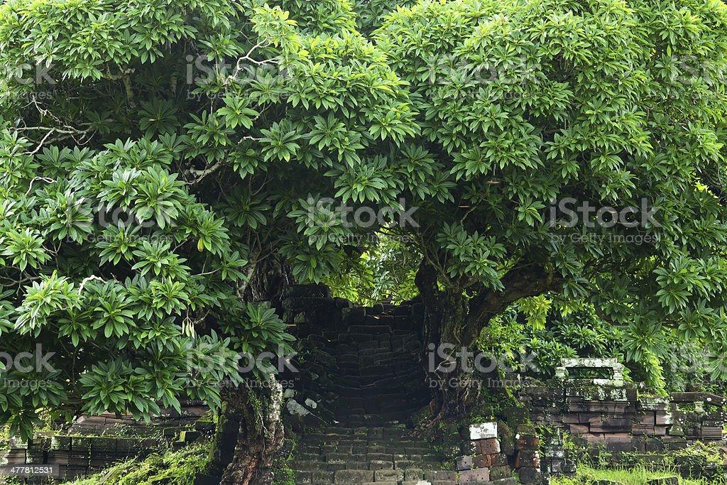 Frangipani tree royalty-free stock photo