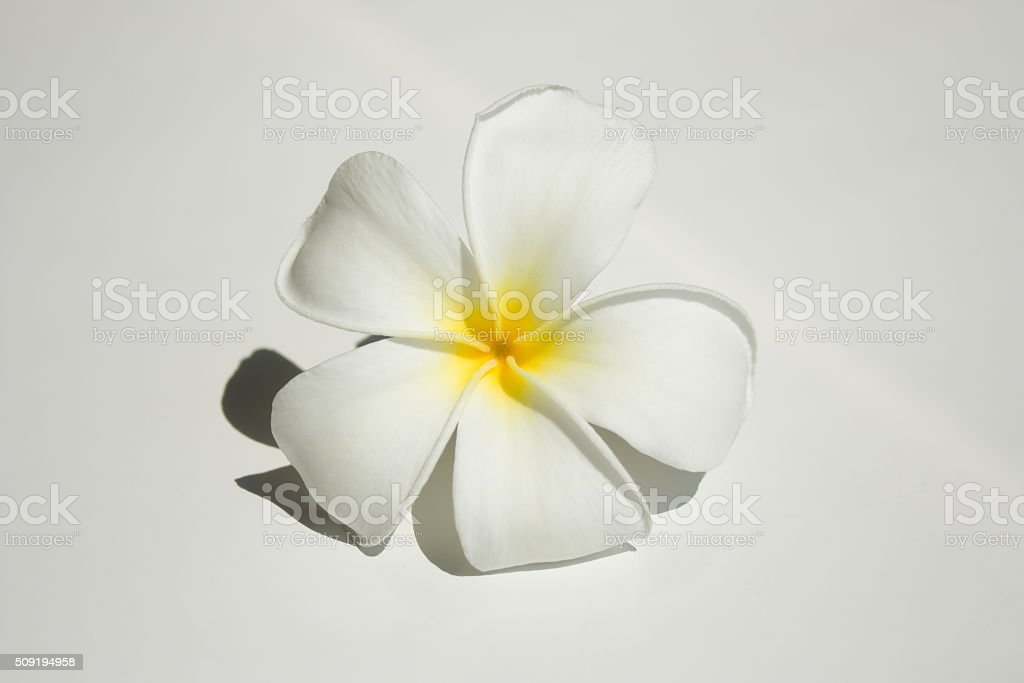 Frangipani tropical flower blooming stock photo