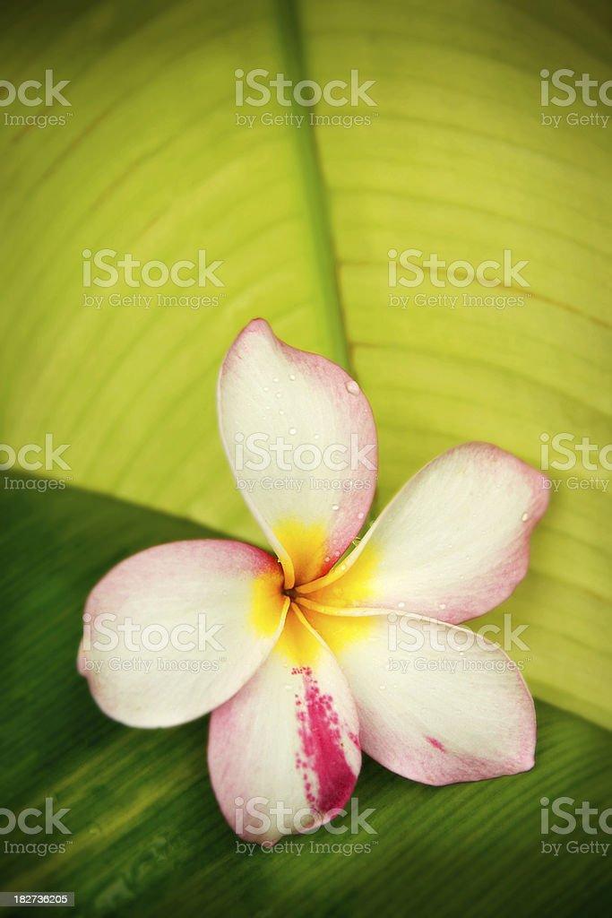 Frangipani,Plumeria stock photo