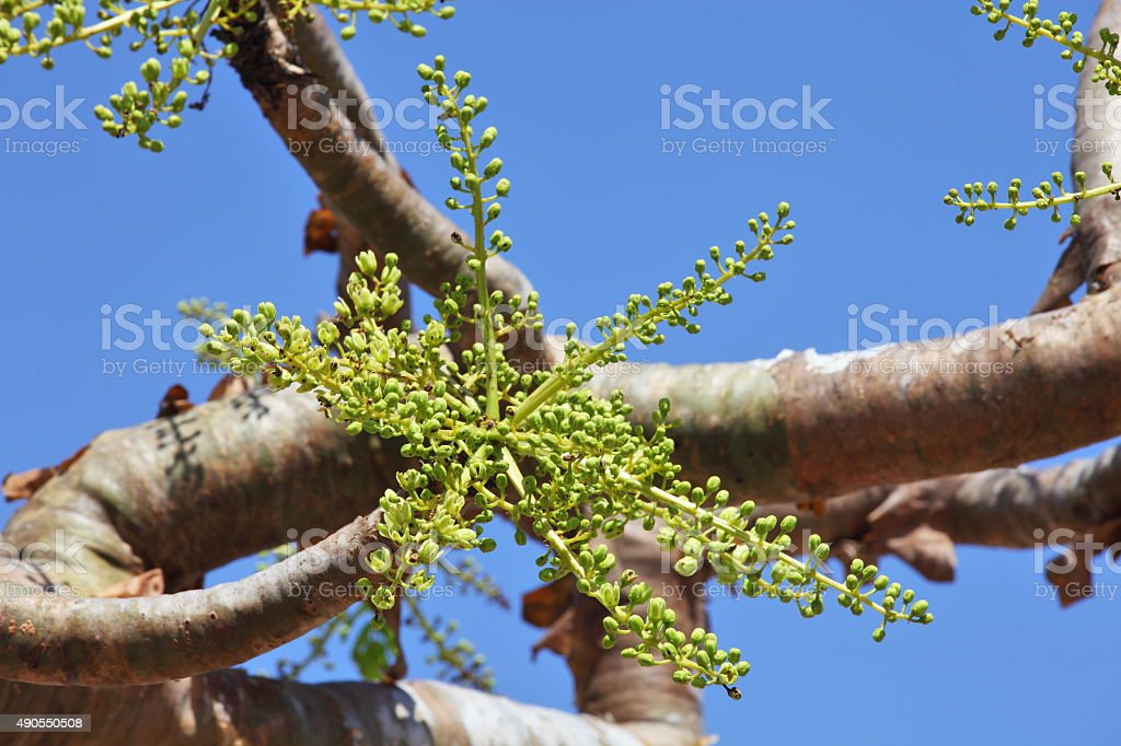 Frankincense (or Boswellia) tree flower buds stock photo
