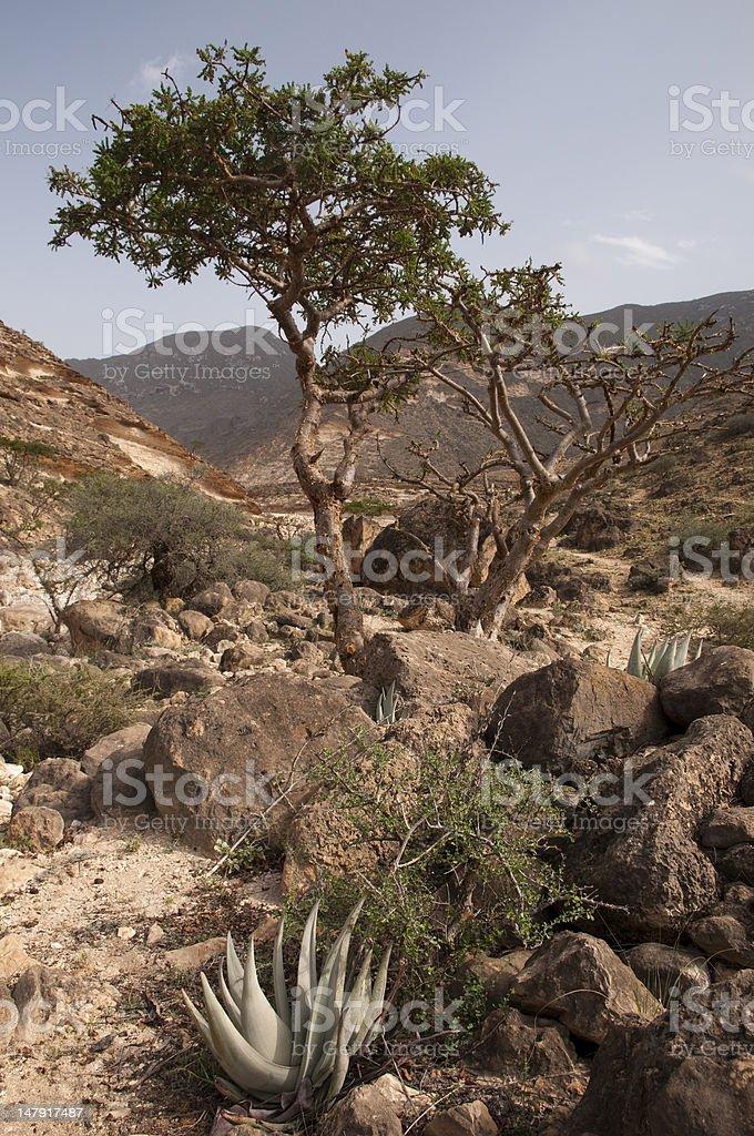 Frankincense tree royalty-free stock photo