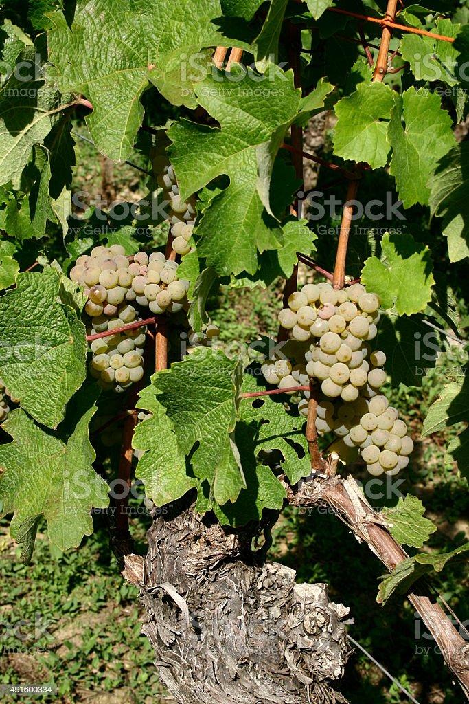 Frankonian green grapes stock photo