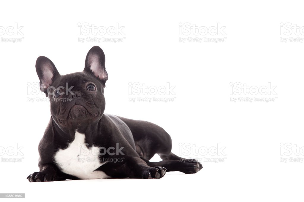 Franse buldog on white stock photo