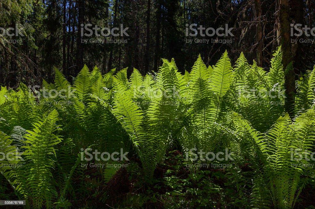 Frauenfarn, lady fern stock photo