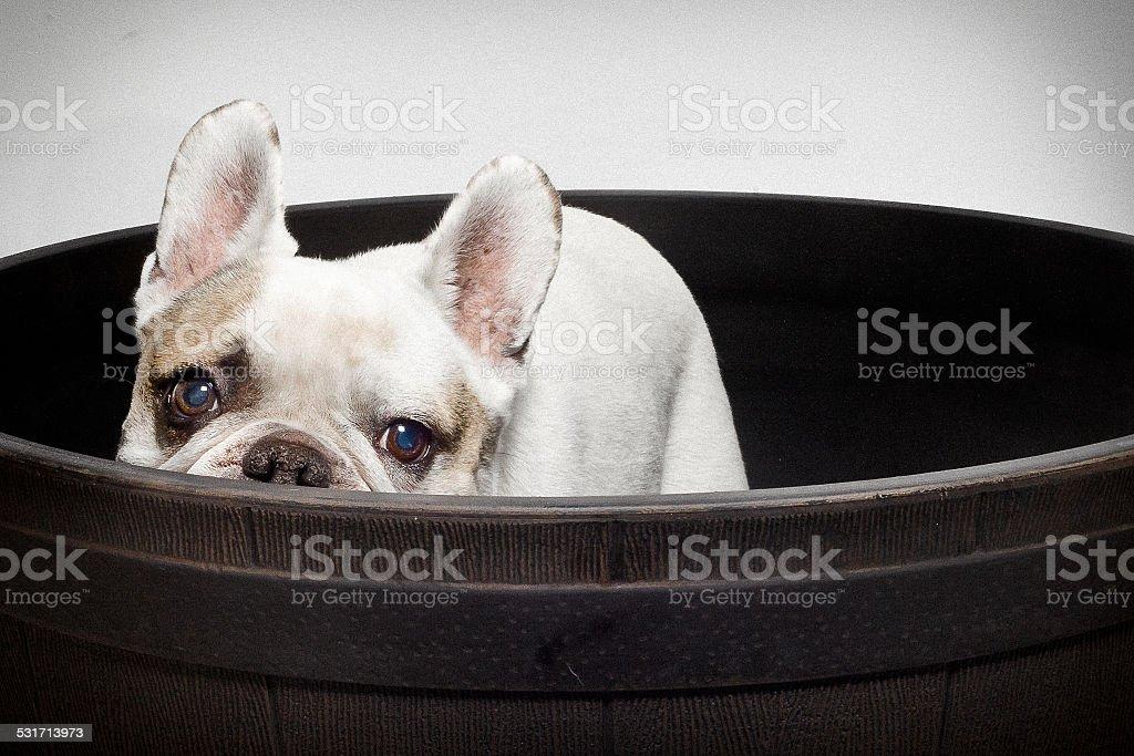 bulldog Frech de cilindro foto de stock libre de derechos