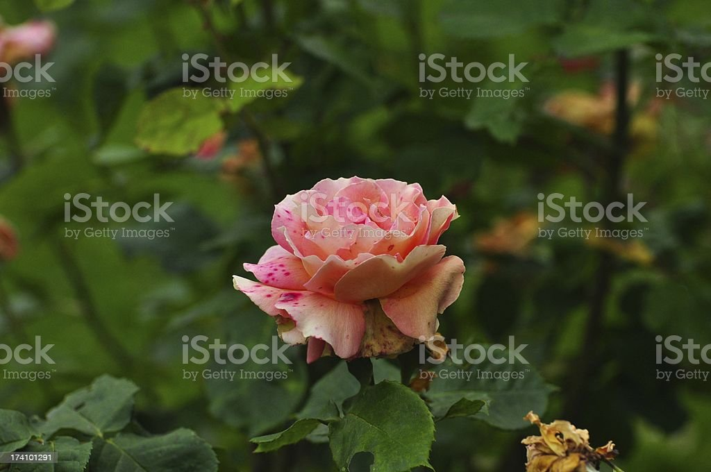 Freckled Rose royalty-free stock photo