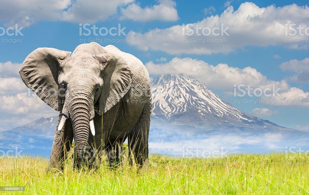 Free African Elephant and Mt Kilimanjaro stock photo