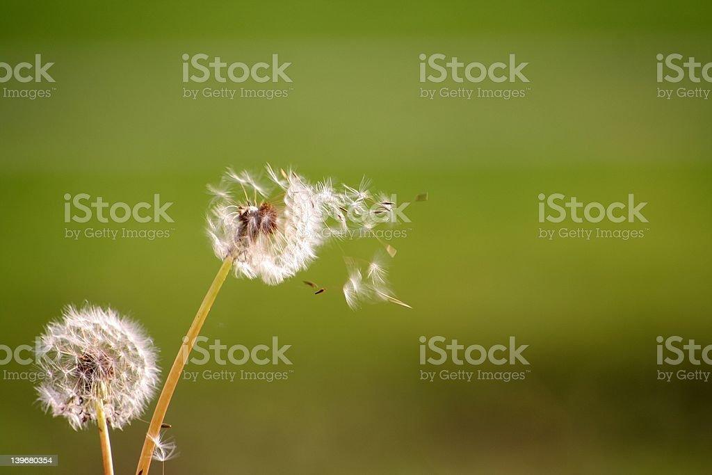 free dandelion stock photo
