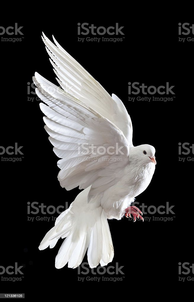 Free flying white dove isolated on a black royalty-free stock photo