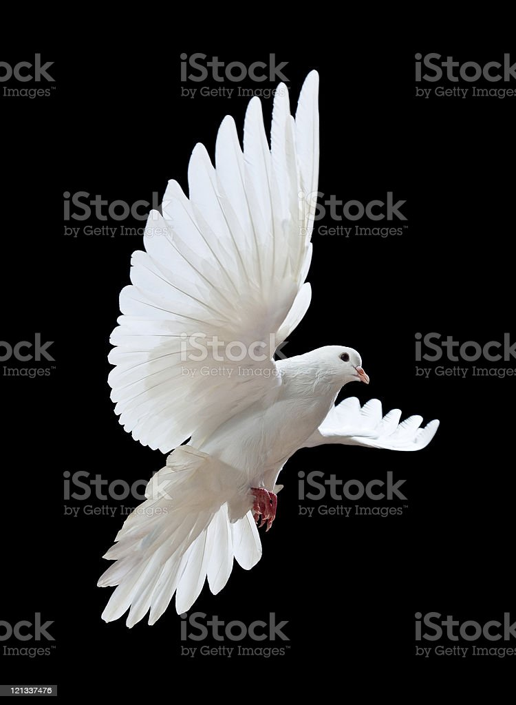 Free flying white dove isolated on a black stock photo