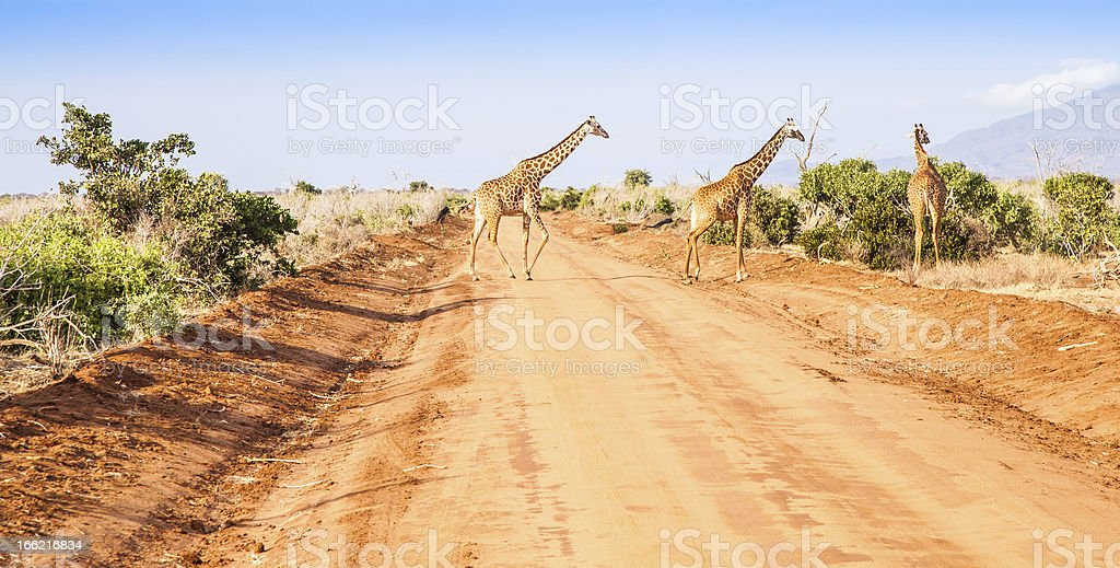Free Giraffe in Kenya stock photo