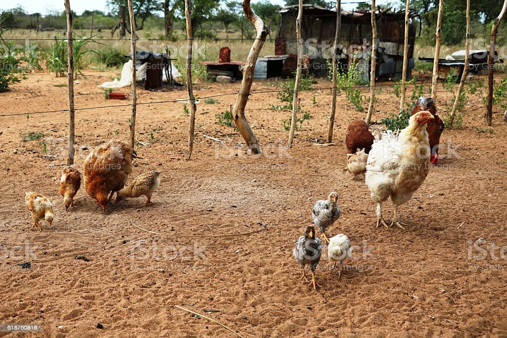 Free living Chicken at the San in Namibia, Africa stock photo