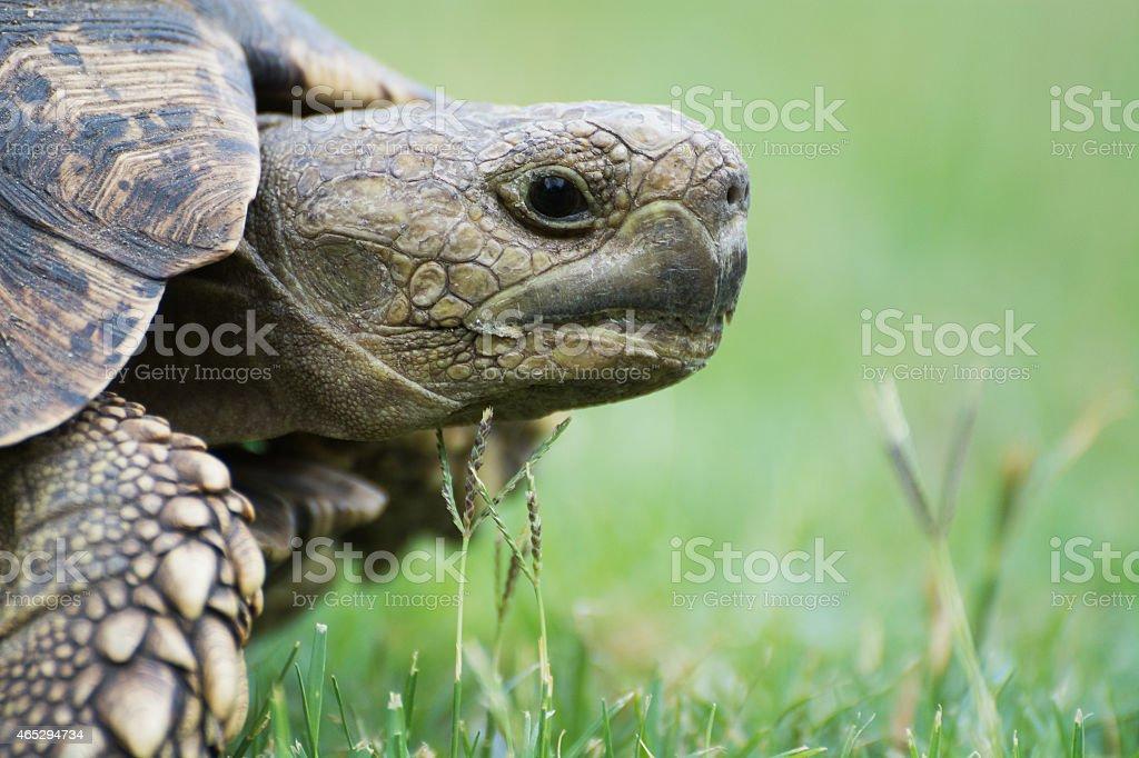 Free living turtle in Botswana stock photo
