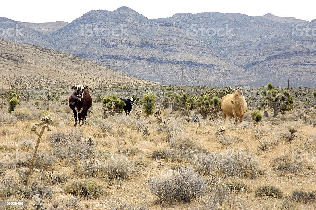 Free Range Cattle in the Mojave Desert royalty-free stock photo