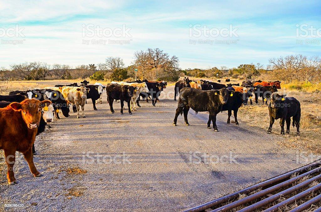 Free Range Cattle on Road stock photo